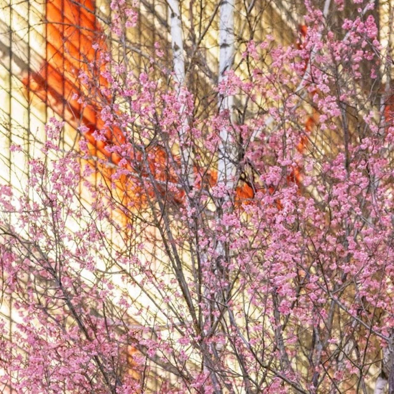 今年のお花見は銀座で?Ginza Sony Parkに4種の桜と限定メニューが登場