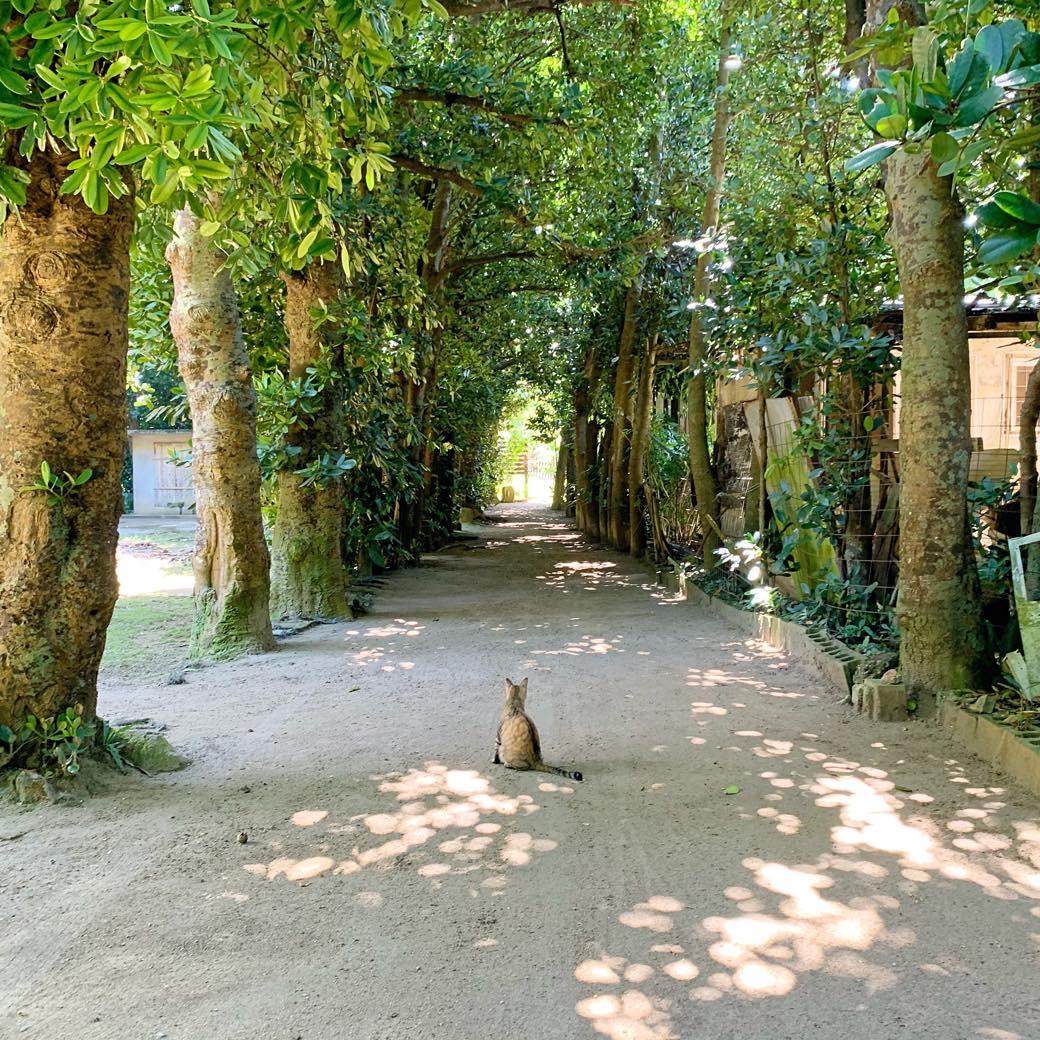 沖縄北部・備瀬のフクギ並木と古宇利大橋の様子を動画レポート