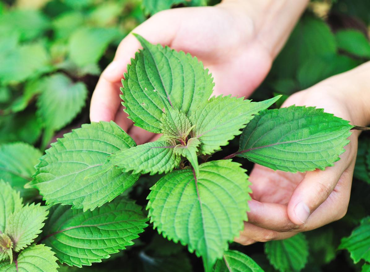 ベランダ菜園の第一歩。ひと株で3度おいしい紫蘇を育てる